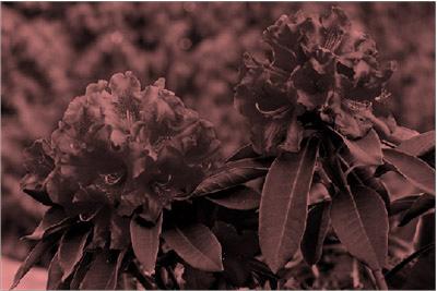 صورة بعد تطبيق تأثير إعادة التلوين باللون الأحمر عليها