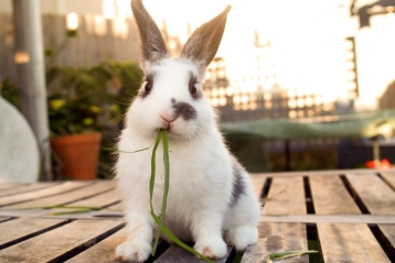 A bunny eating grass