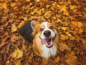 A happy dog sitting in a pile of leaves