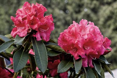 Kuva vaaleanpunaisista kukista, kun värien kylläisyyttä on muutettu