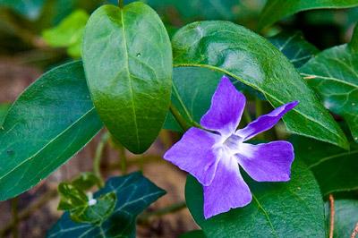 Violetinė gėlė žalių lapų fone