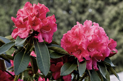 Bilde av rosa blomster der fargemetningen er endret